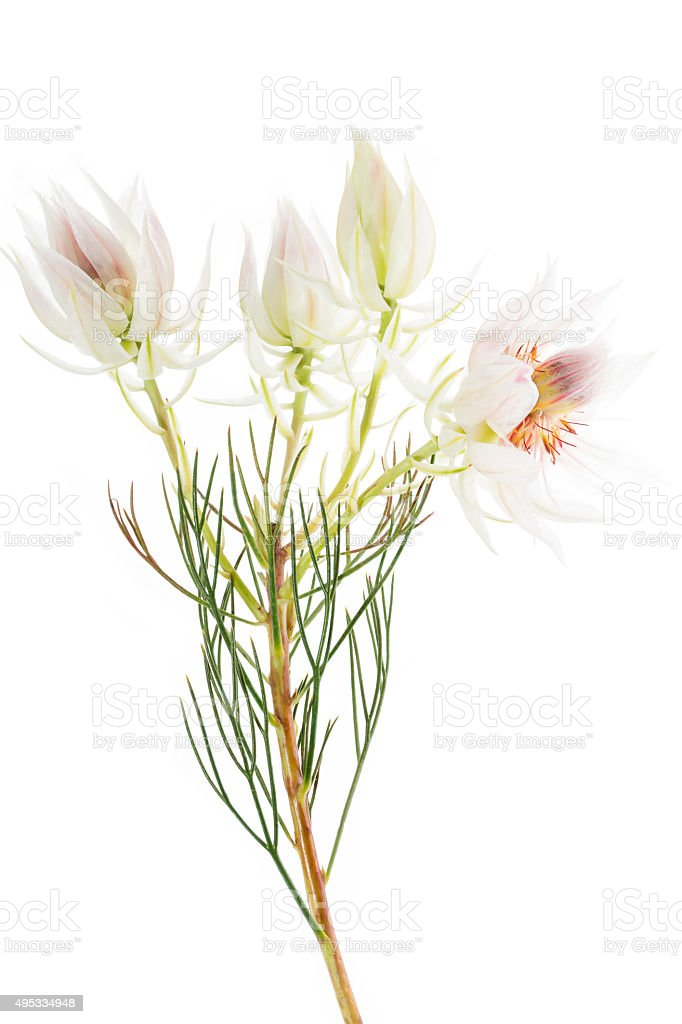 Serruria florida or Pride of Franschhoek flower on white stock photo