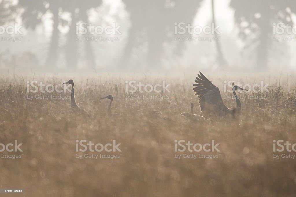 Serus crane feeding through a field royalty-free stock photo