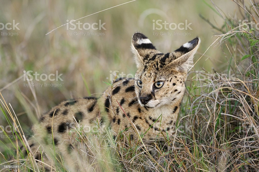 Serval Cat Hiding in the Grass stock photo
