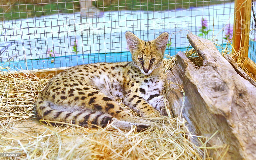 Serval cat in cage stock photo