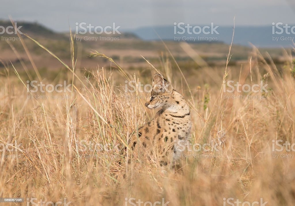 Serval Cat in the wild stock photo
