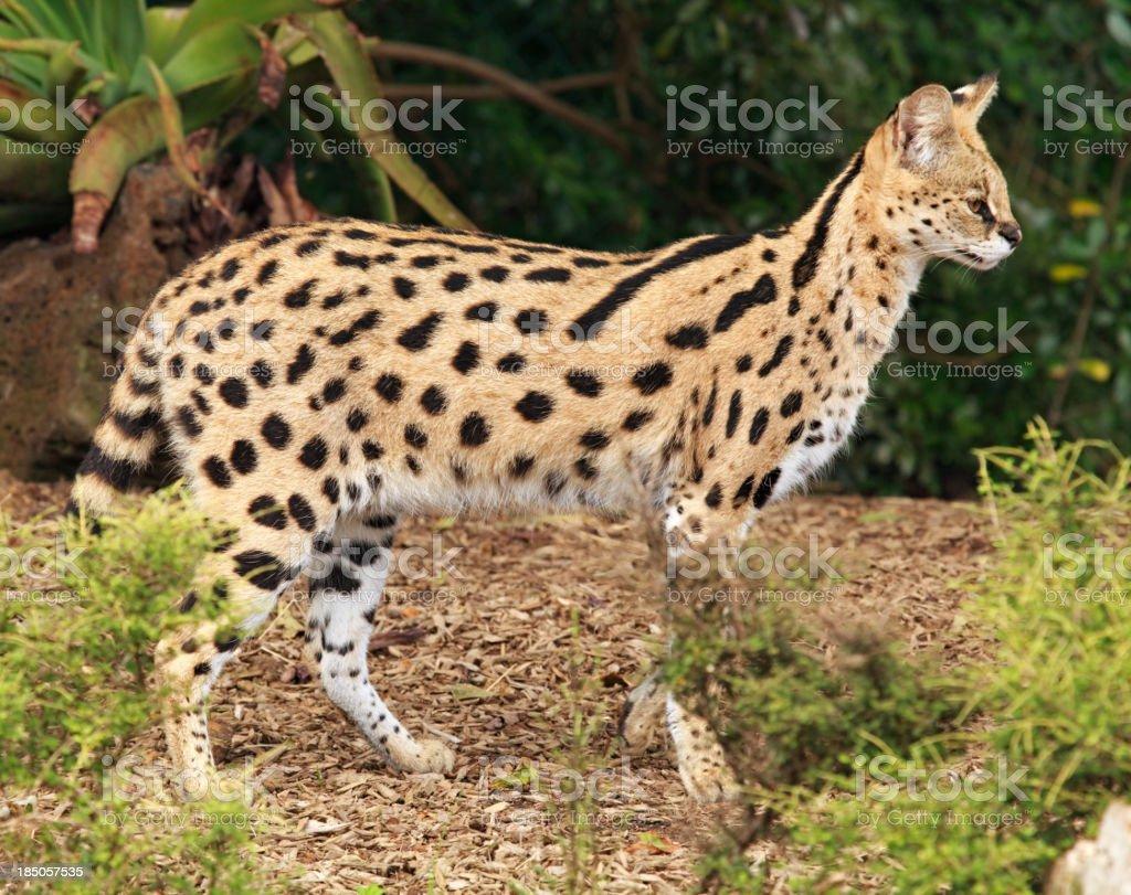 Serval cat stock photo