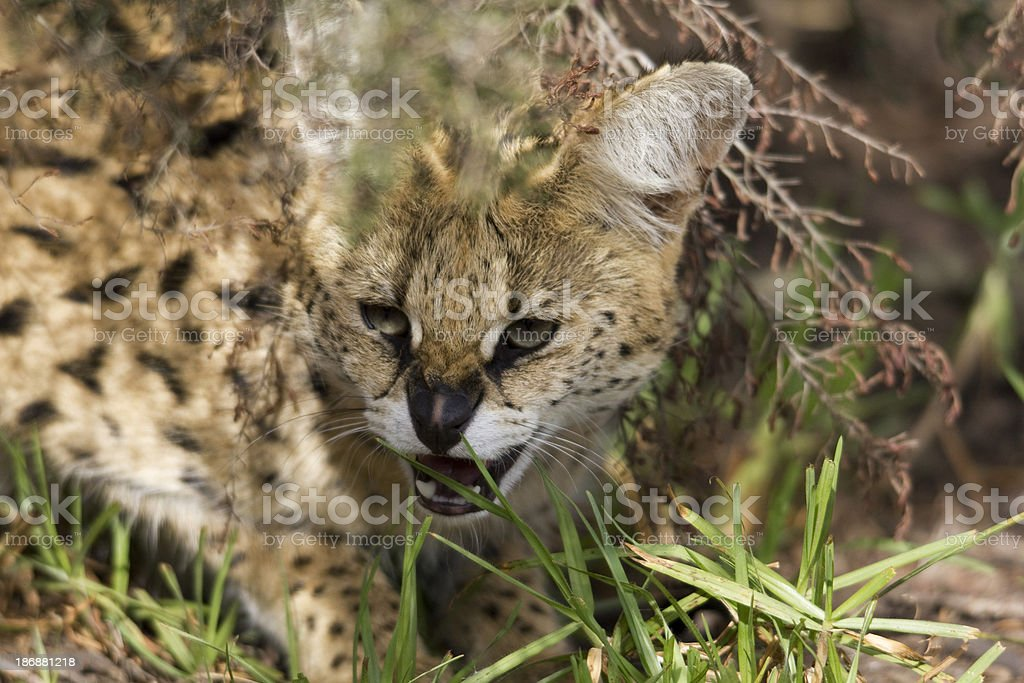 Serval Cat stock photo