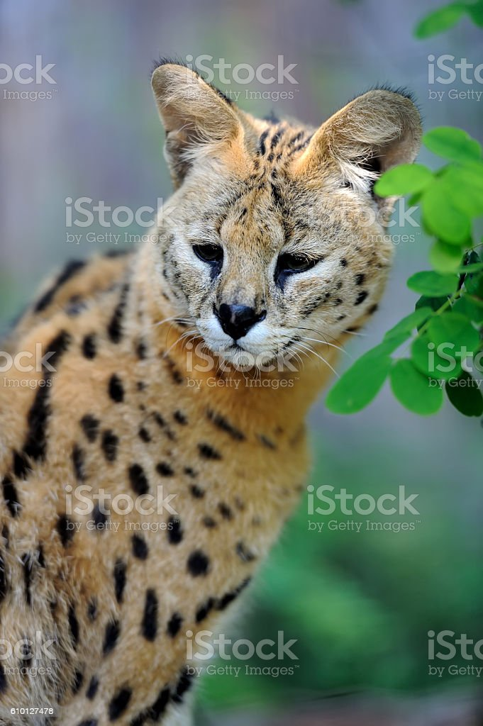 Serval cat (Felis serval) stock photo