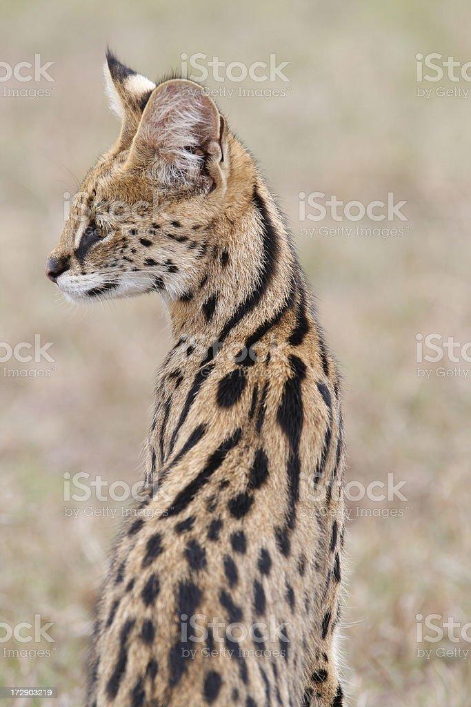 Serval Cat portrait royalty-free stock photo