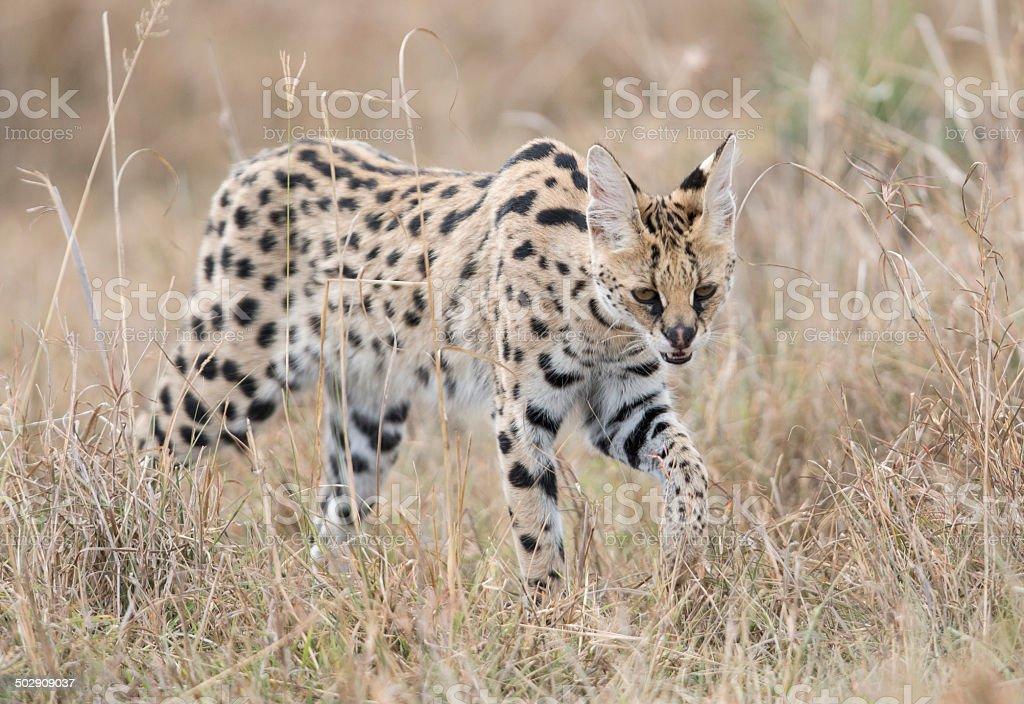 Serval cat prowling , Masai Mara, Kenya stock photo
