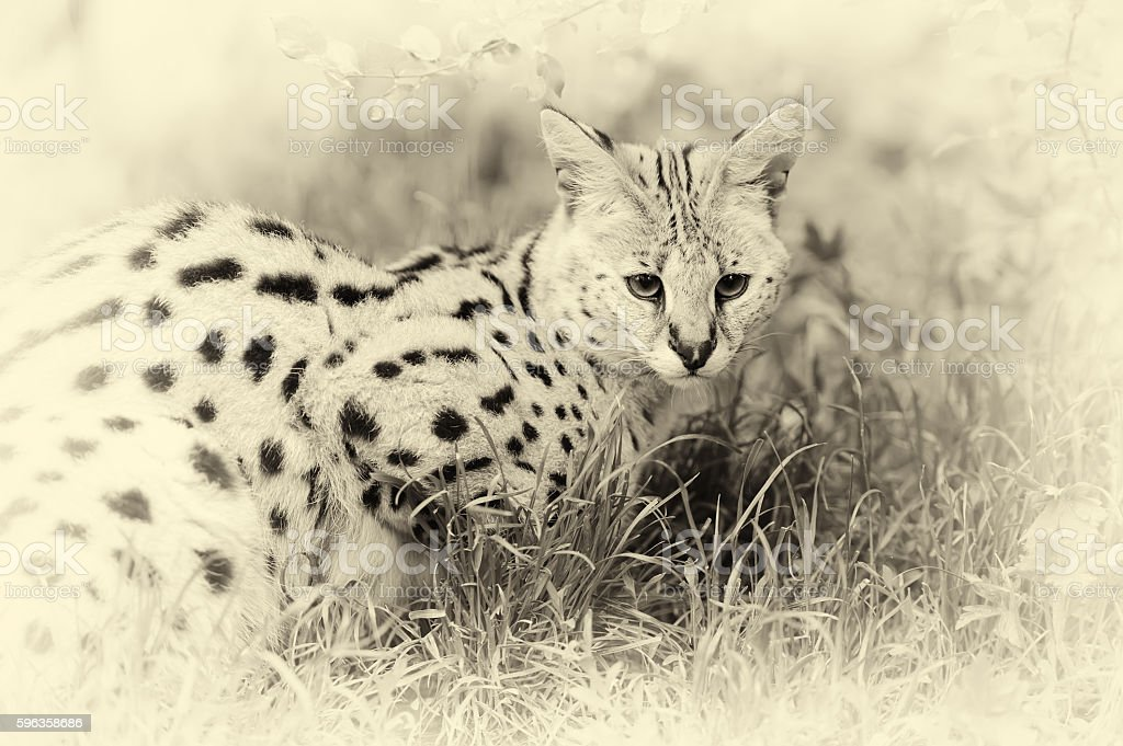 Serval cat (Felis serval) walking in the nature. Vintage effect stock photo