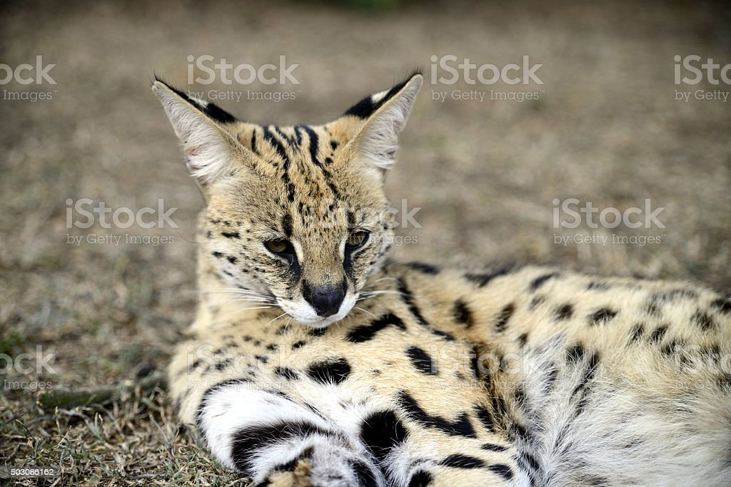 Serval, Hluhluwe, South Africa stock photo