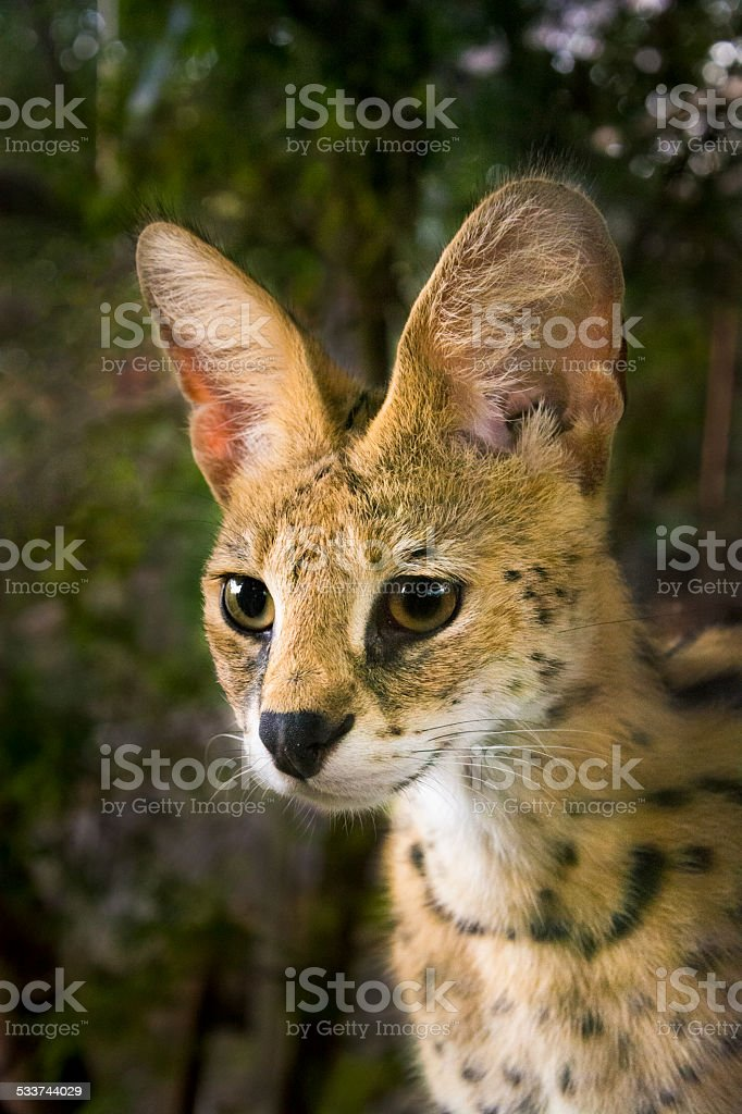 Serval in forest stock photo