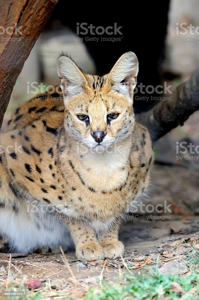 Serval stock photo