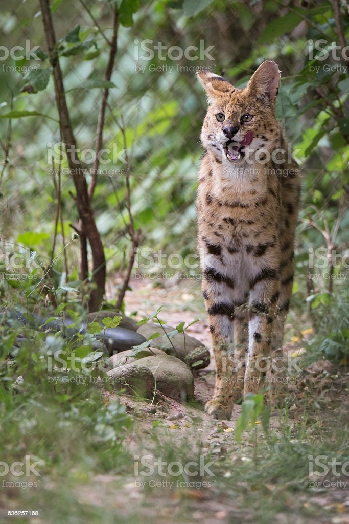 Serval. stock photo
