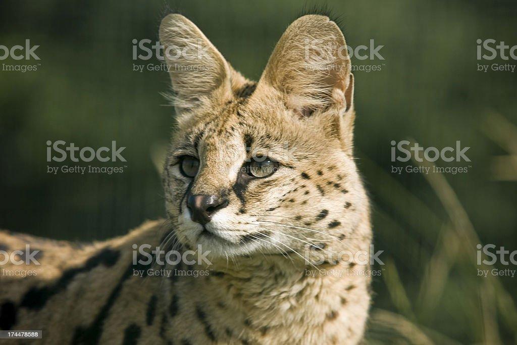 Serval Portrait stock photo