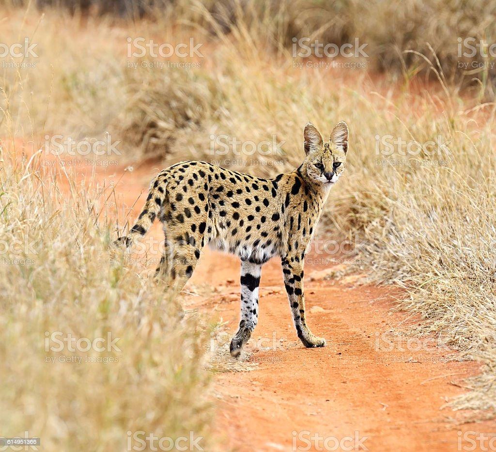 Serval Tsavo Park stock photo