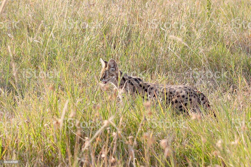 Serval wildcat in savannah of Serengeti Tanzania stock photo