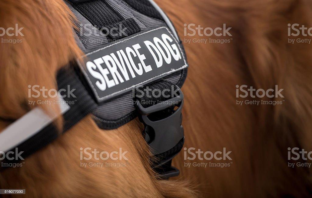 Service dog stock photo