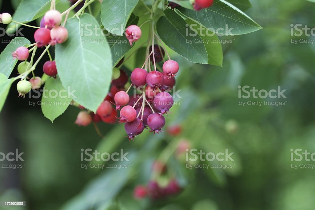 serviceberries royalty-free stock photo
