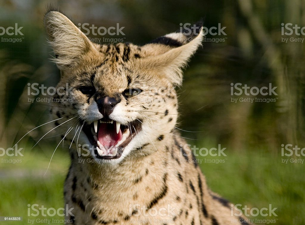 Servile Cat royalty-free stock photo