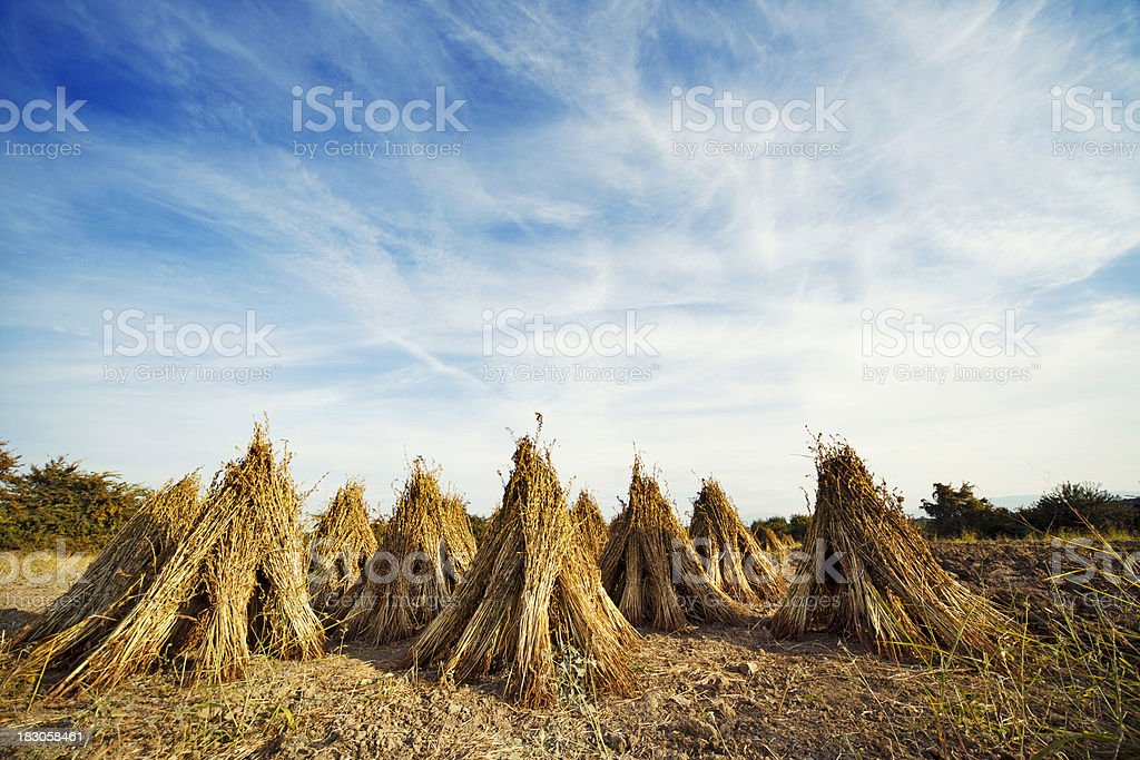 Sesame plants drying royalty-free stock photo
