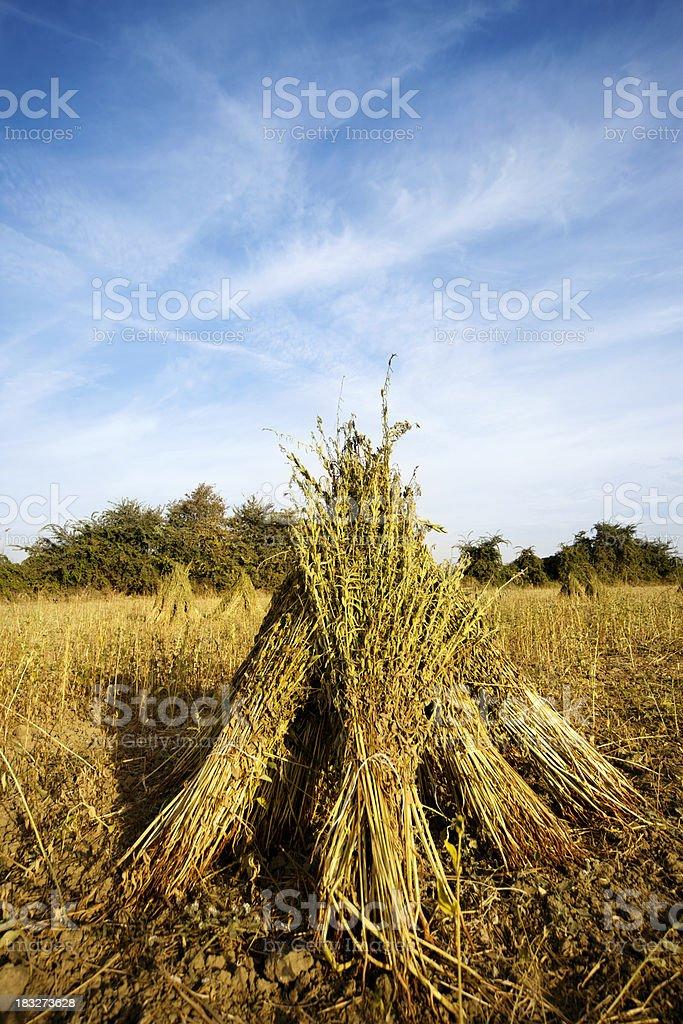 Sesame plants drying royalty-free stock photo