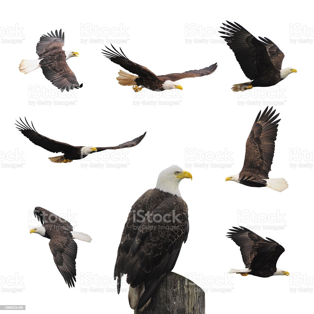 Set bald eagles. stock photo