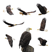 Set bald eagles.