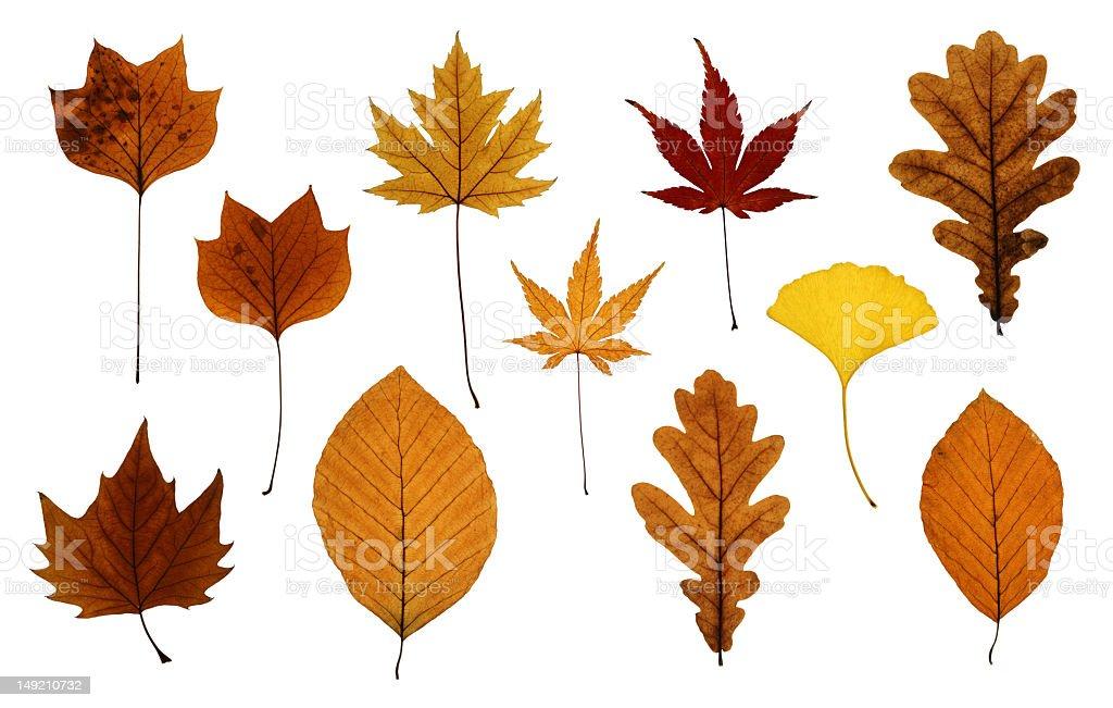 Set of Autumn Leaves Isolated on White stock photo