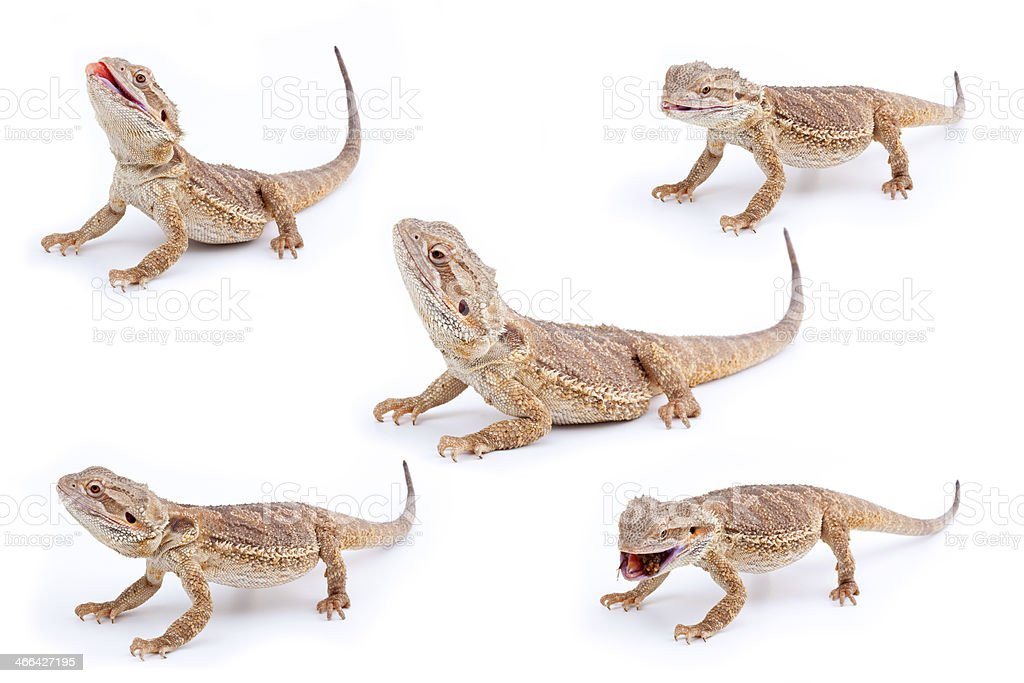 Set of Bearded Dragons isolated over white stock photo