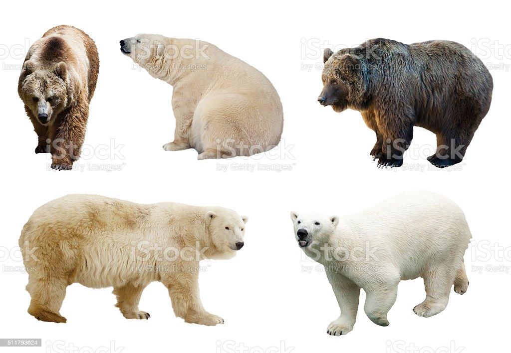 Set of  bears over white background stock photo