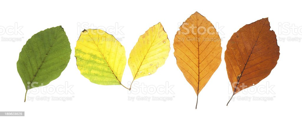 Set of beech leaves in different fall colors stock photo