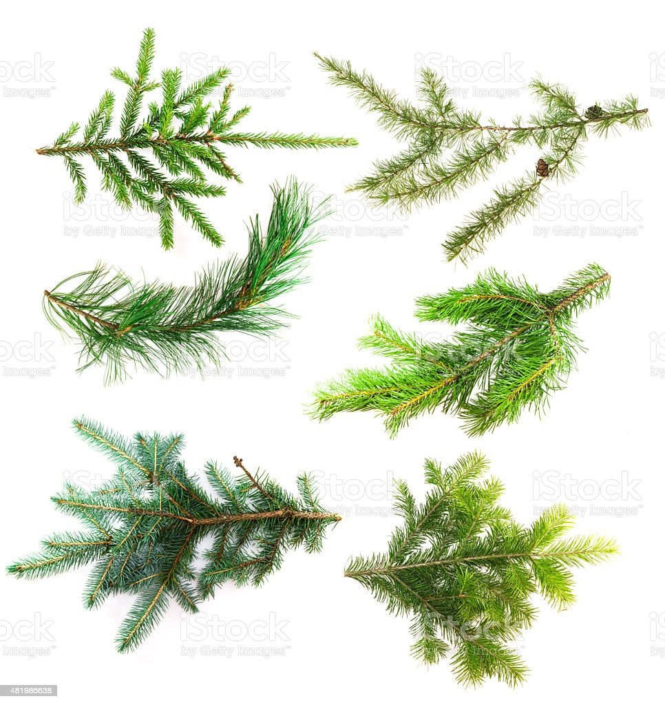 Set of branches coniferous trees isolated on white background stock photo