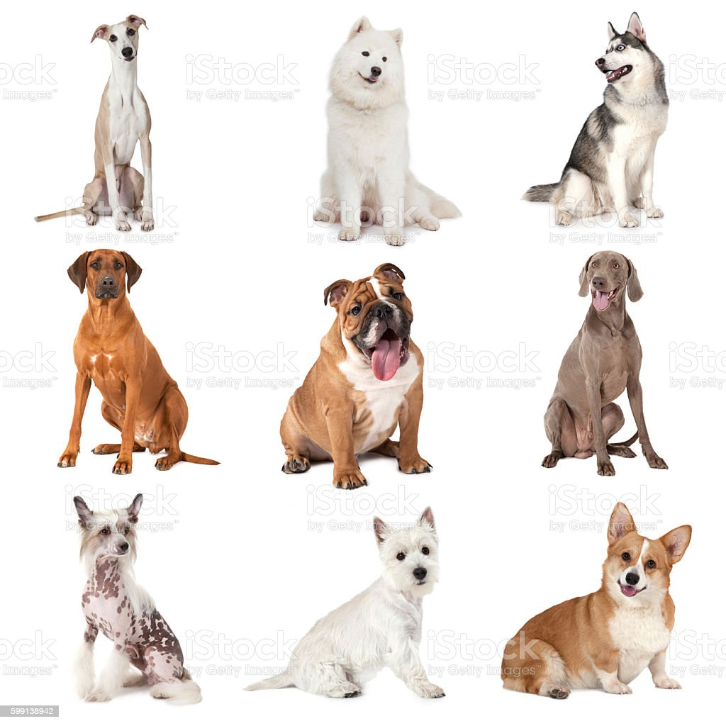 Set of common dogs stock photo