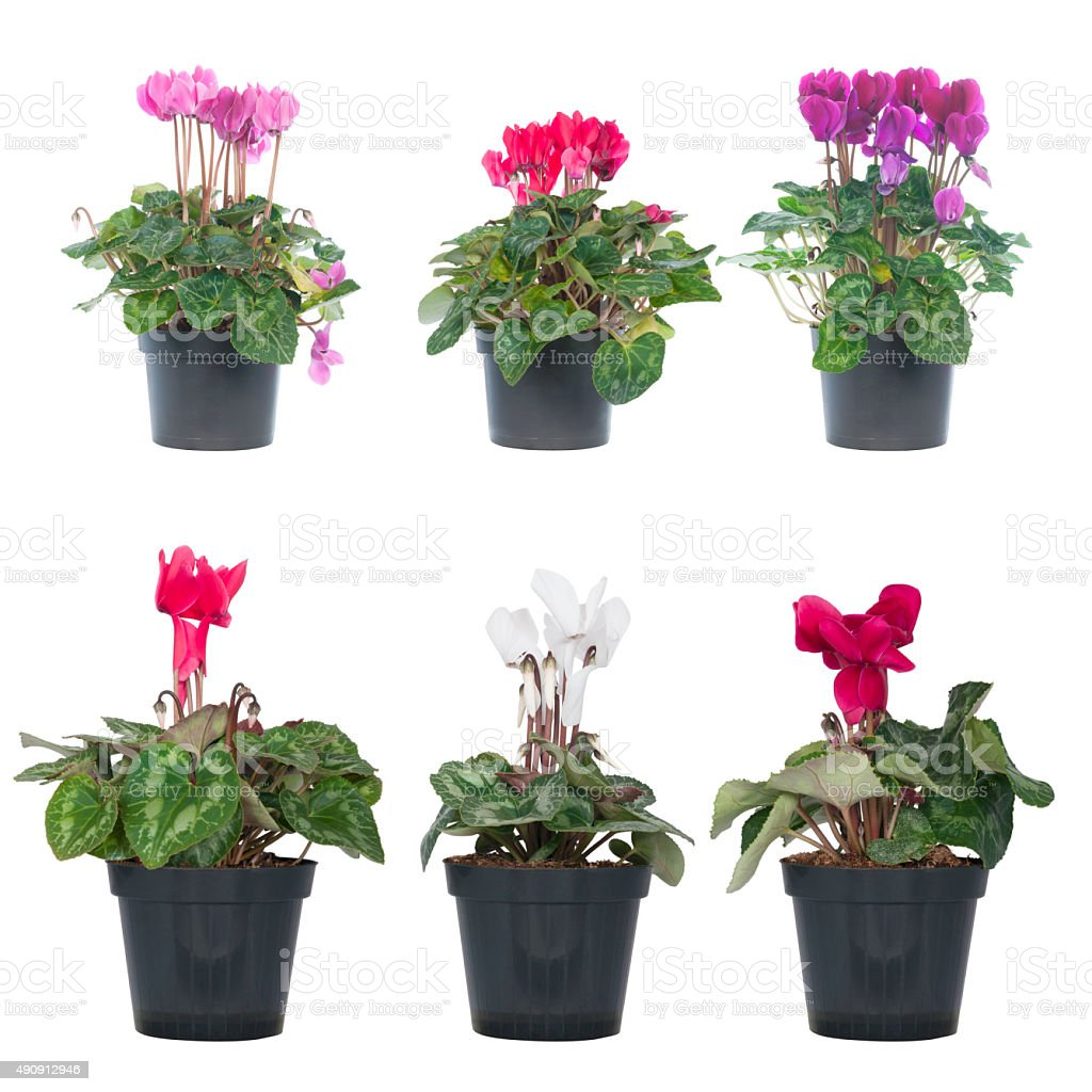 set of cyclamen or alpine violets stock photo