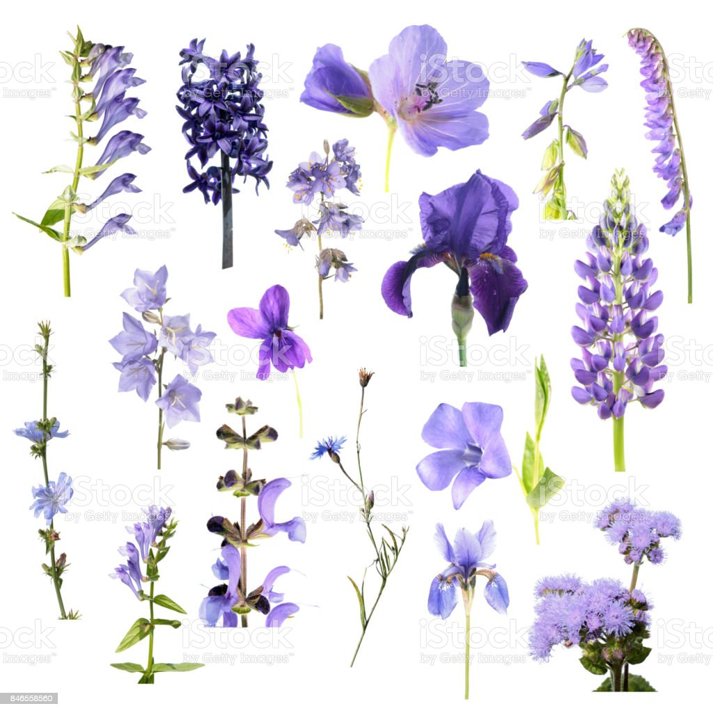 Set of different blue flowers isolated on white background. Blue, purple and violet flowers stock photo
