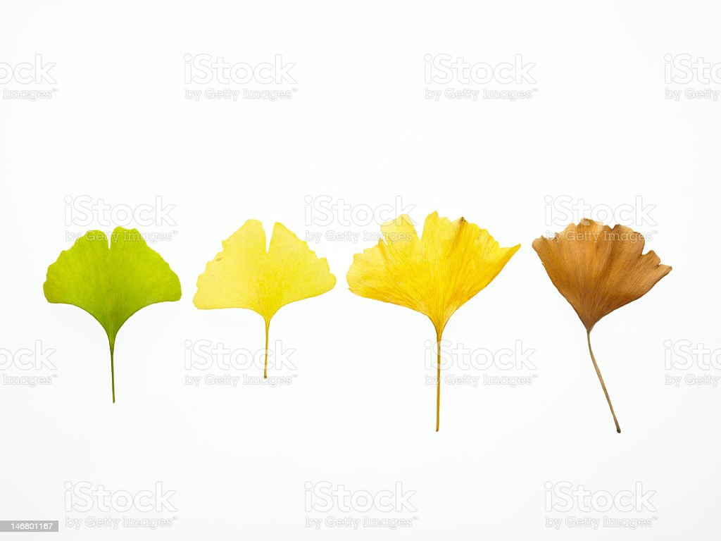 Set of different colored leaves in line royalty-free stock photo