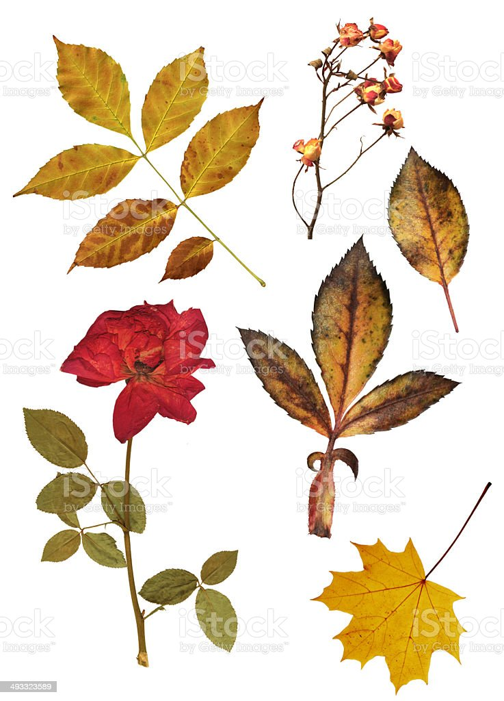 Set of dried roses and leaves stock photo