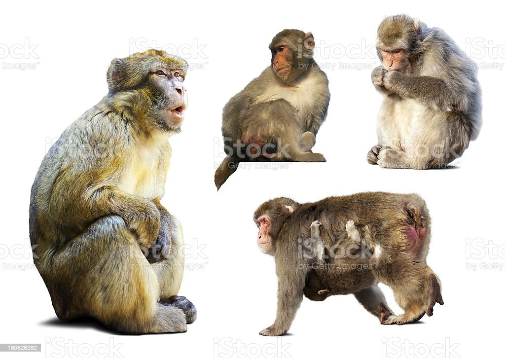 Set of few  macaques  over white background royalty-free stock photo