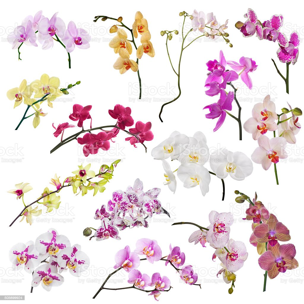 set of fifteen orchid flowers branches isolated on white stock photo