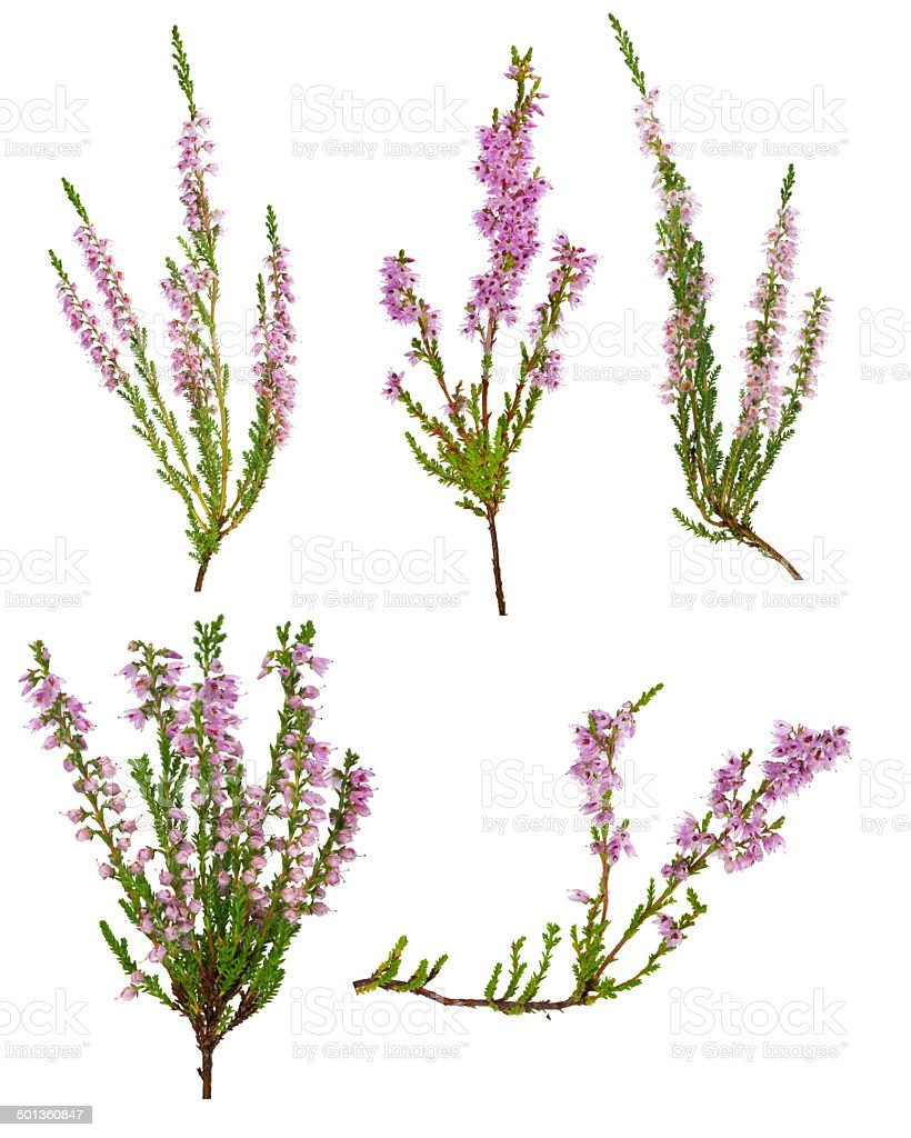 set of five pink blossoming heather branches stock photo