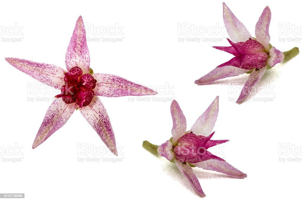 Set of flowers stonecrop close-up, lat. Sedum spectabile, isolat stock photo