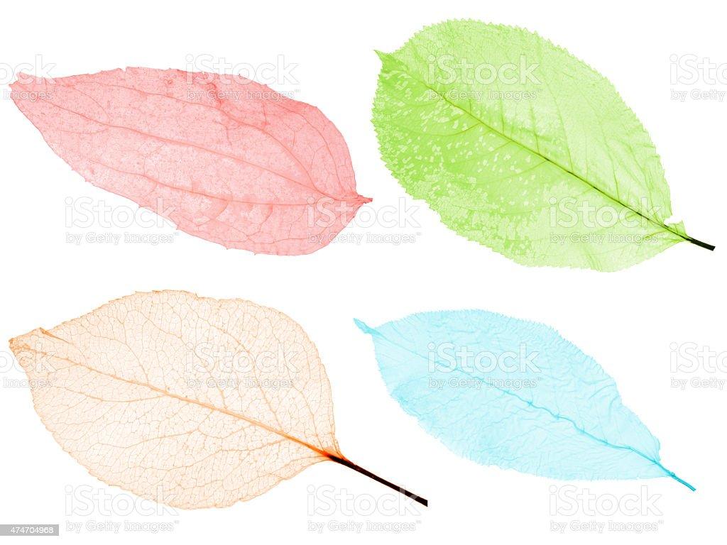 set of four color leaf skeletons stock photo