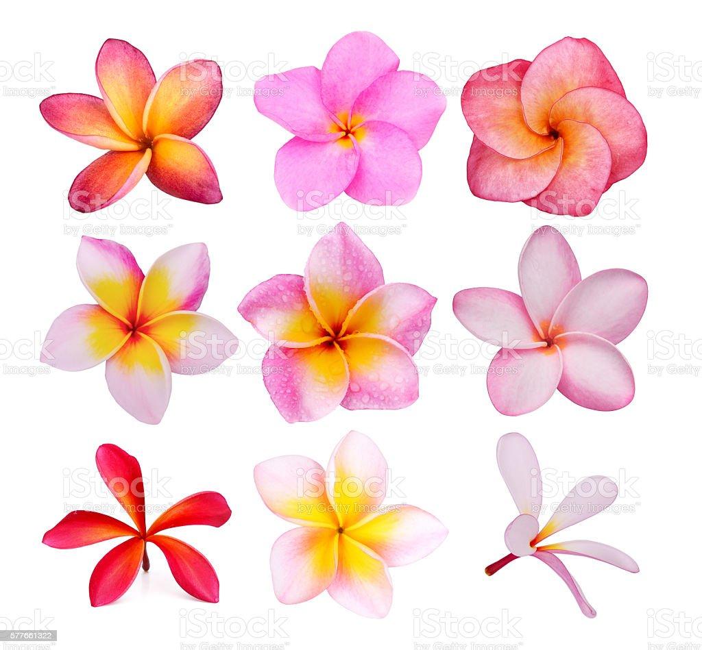 set of frangipani flowers isolated on the background white stock photo