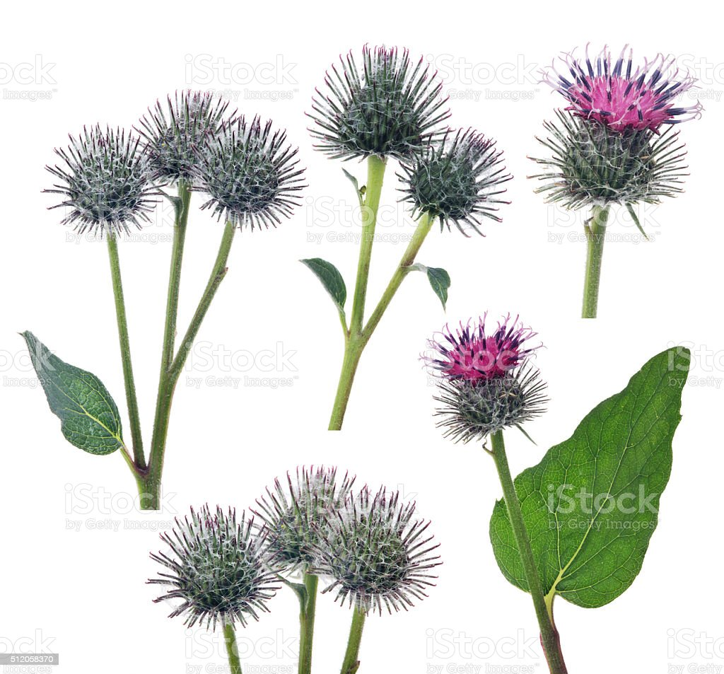 set of greater burdock flowers isolated on white stock photo