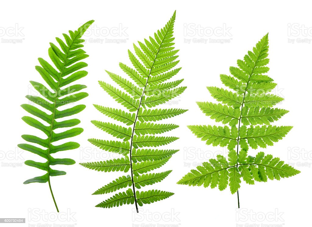 Set of green fern leaves stock photo
