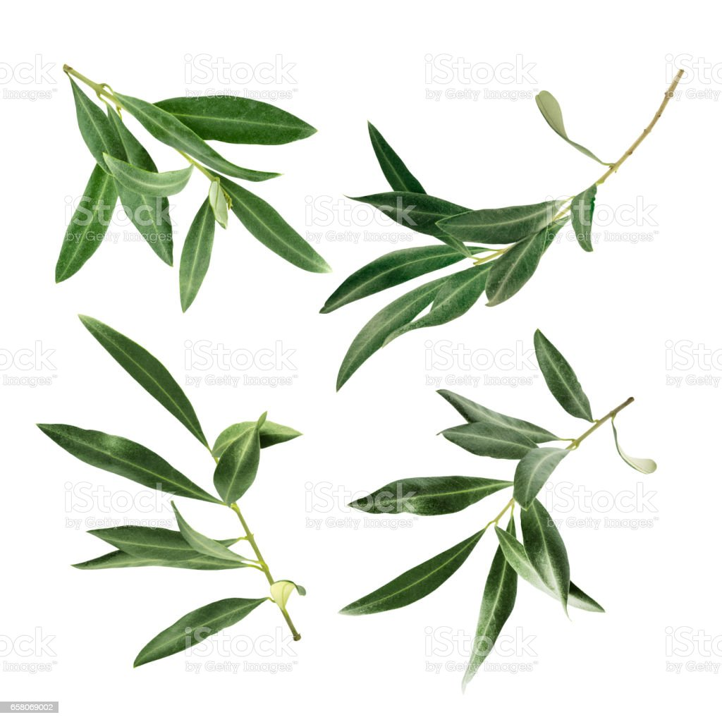 Set of green olive branch photos, isolated on white stock photo