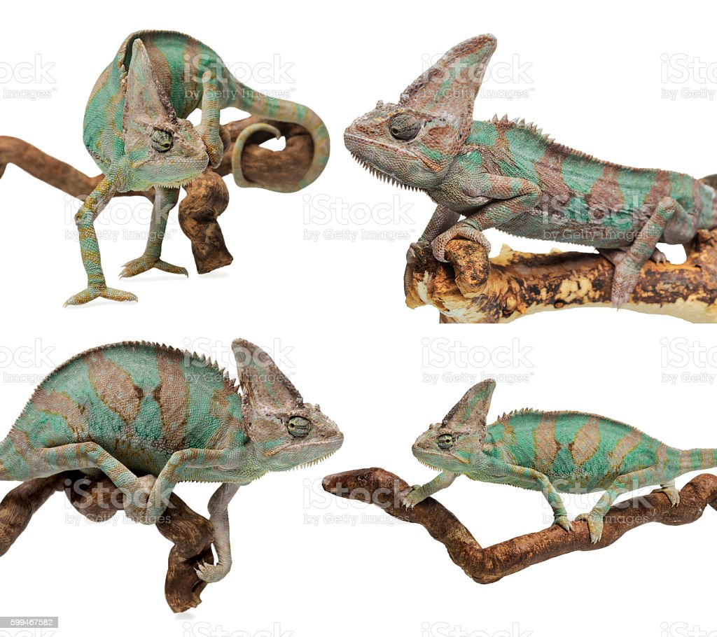 Set of greenish brown chameleon disguised and in normal position stock photo