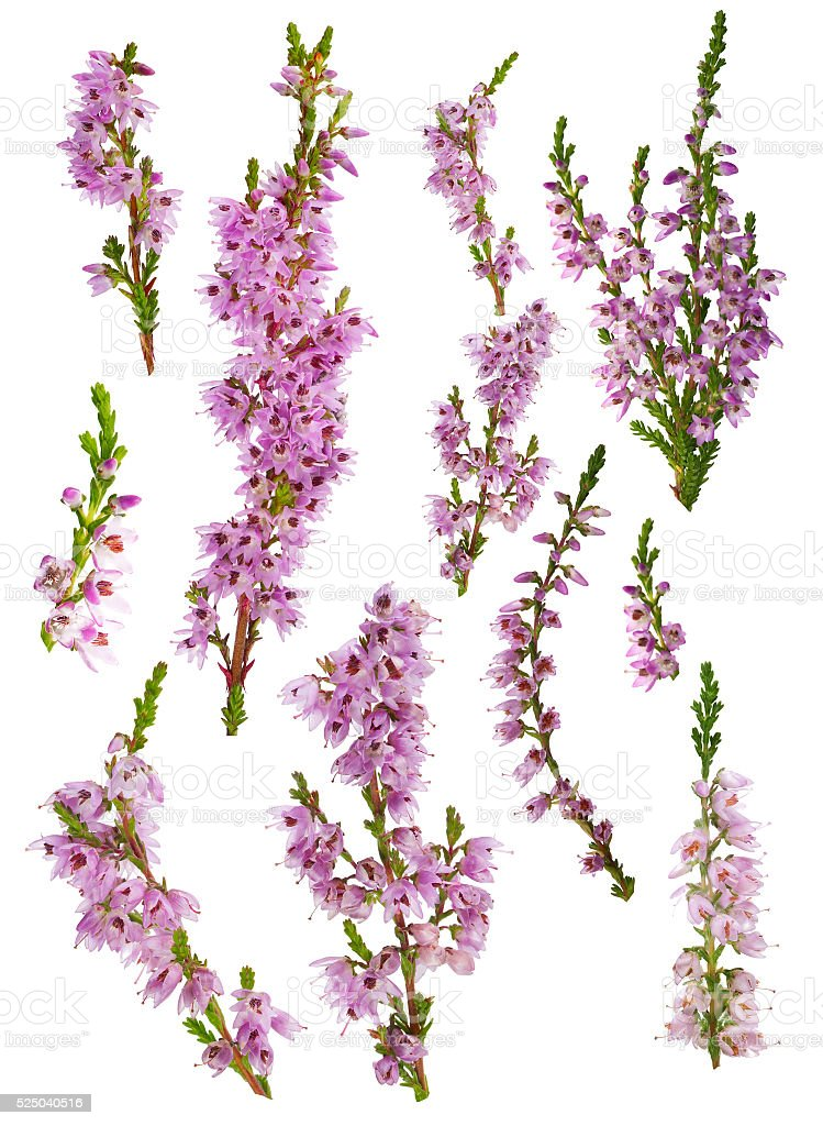 set of heather blossoms isolated on white stock photo