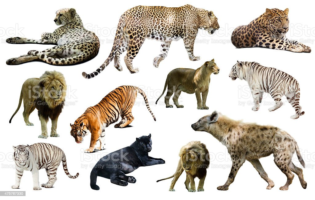 Set of  hyena, leopard  and other feliformia stock photo