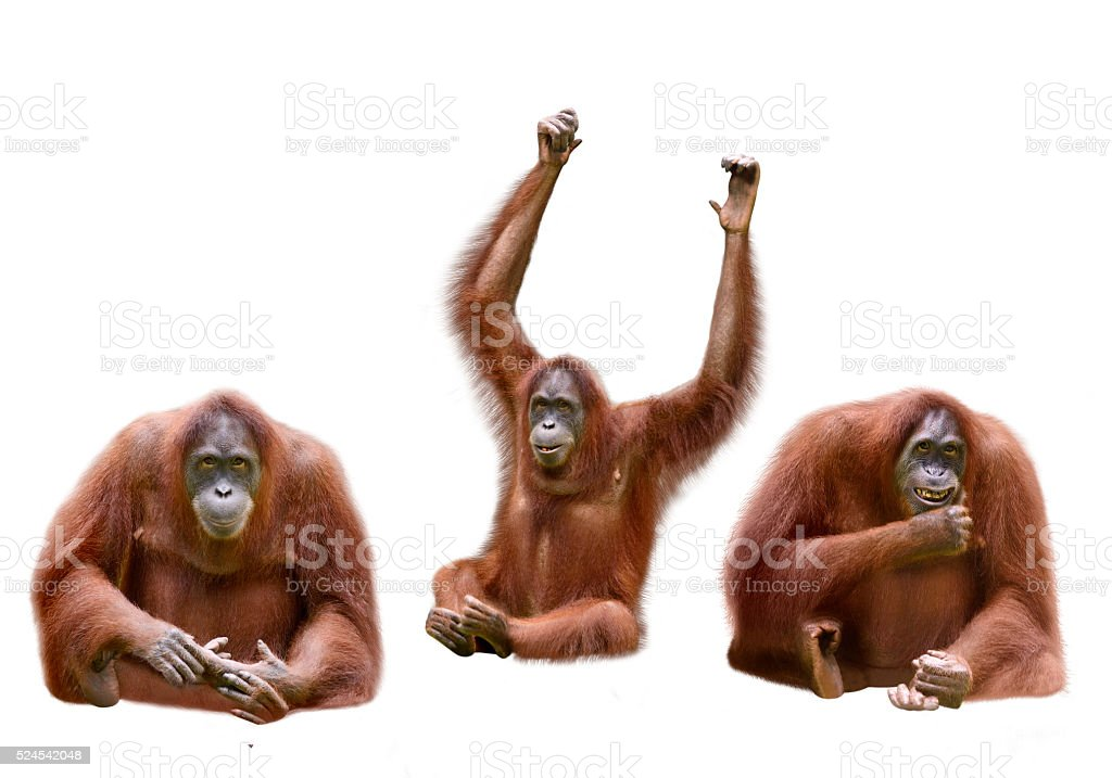 Set of image orangutan stock photo