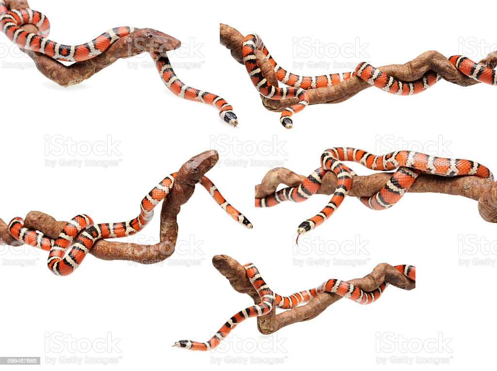 Set of isolated Arizona mountain king snake on branch stock photo