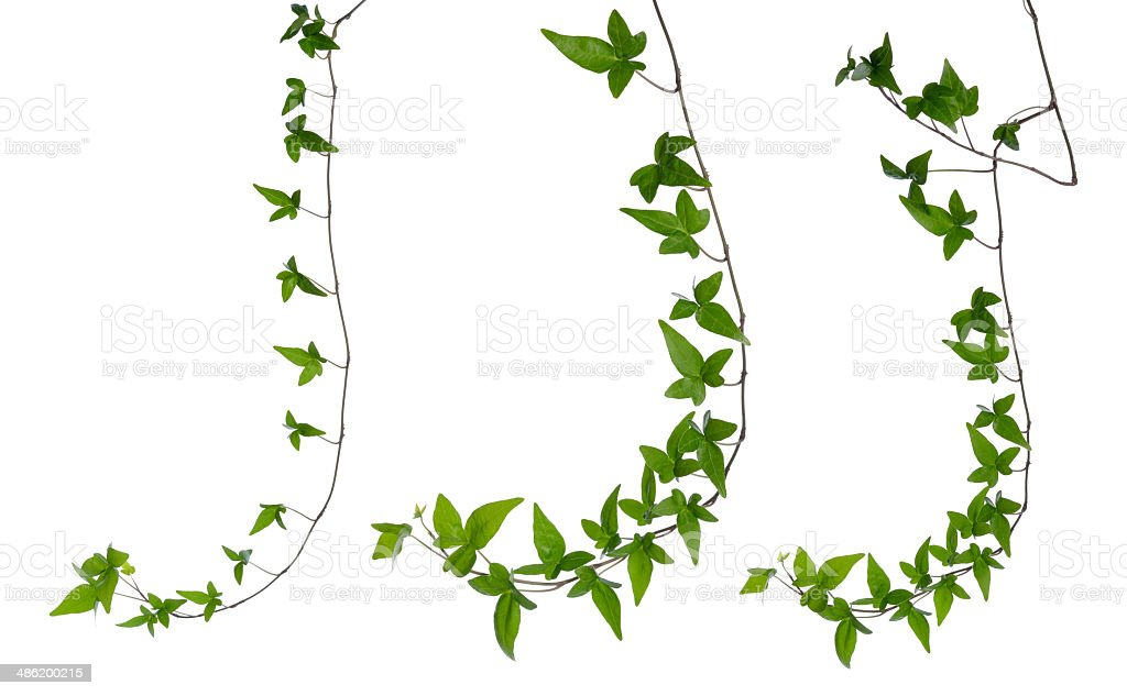 Set of ivy stems isolated over white. stock photo